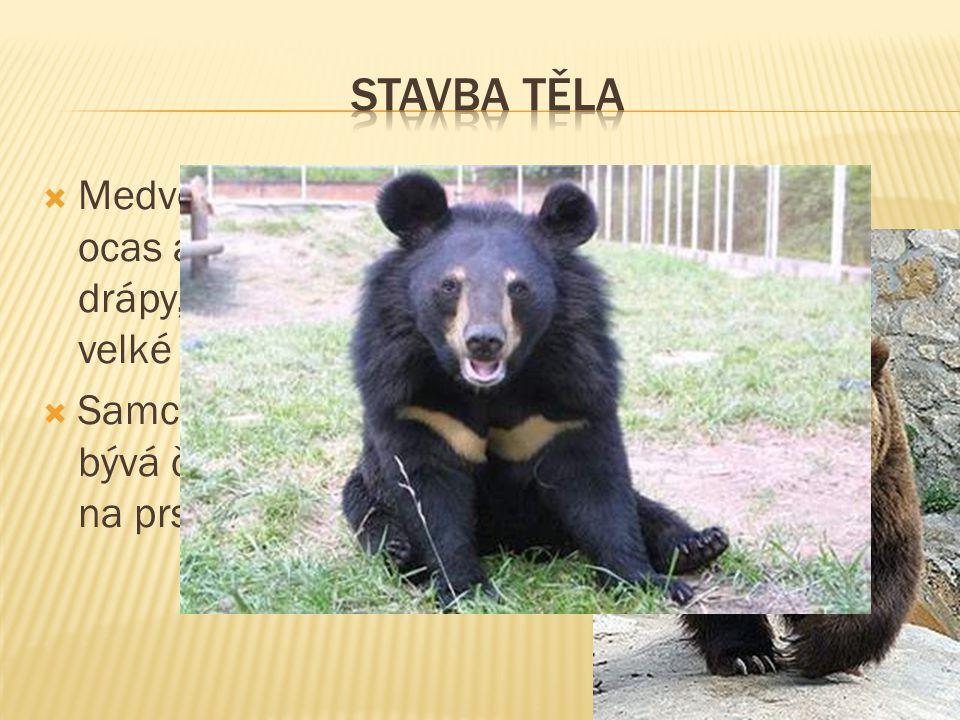  Medvědovití mají velmi velkou lebku, krátký ocas a silné nohy s dlouhými nezatažitelnými drápy, kterými mohou jediným úderem zabít i velké zvíře. 