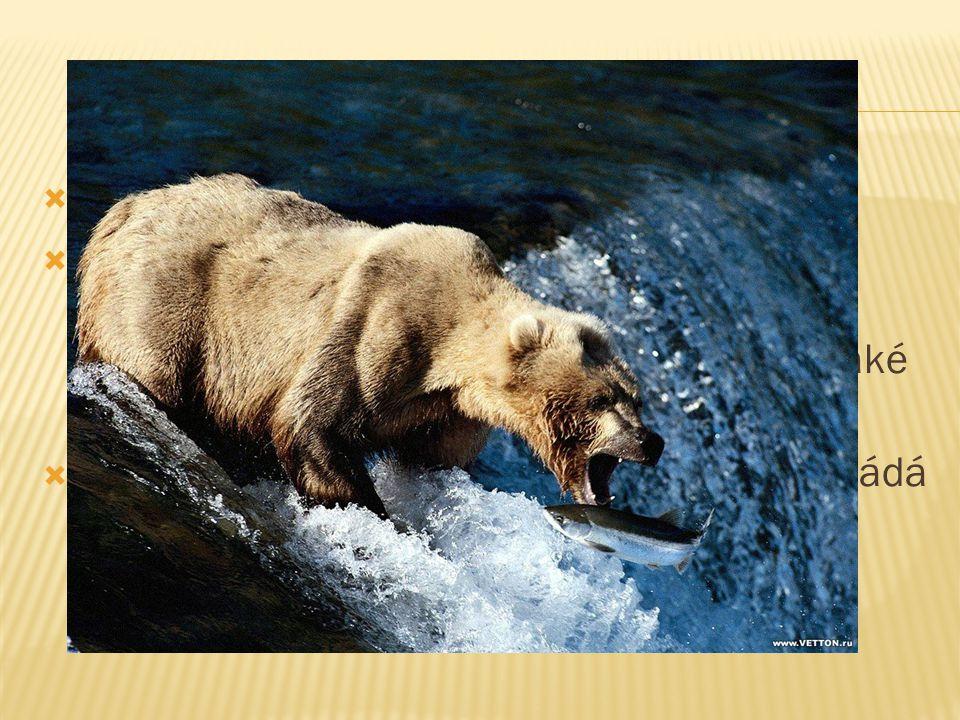  Mají výborný čich, ale špatný zrak a sluch.  Medvědovití chodí pomalu a při chůzi se dotýkají země všemi pěti prsty i patou, ale v případě potřeby