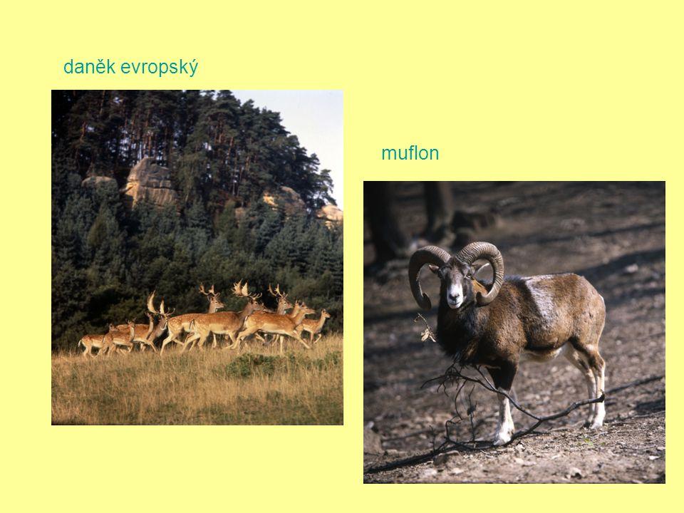 daněk evropský muflon