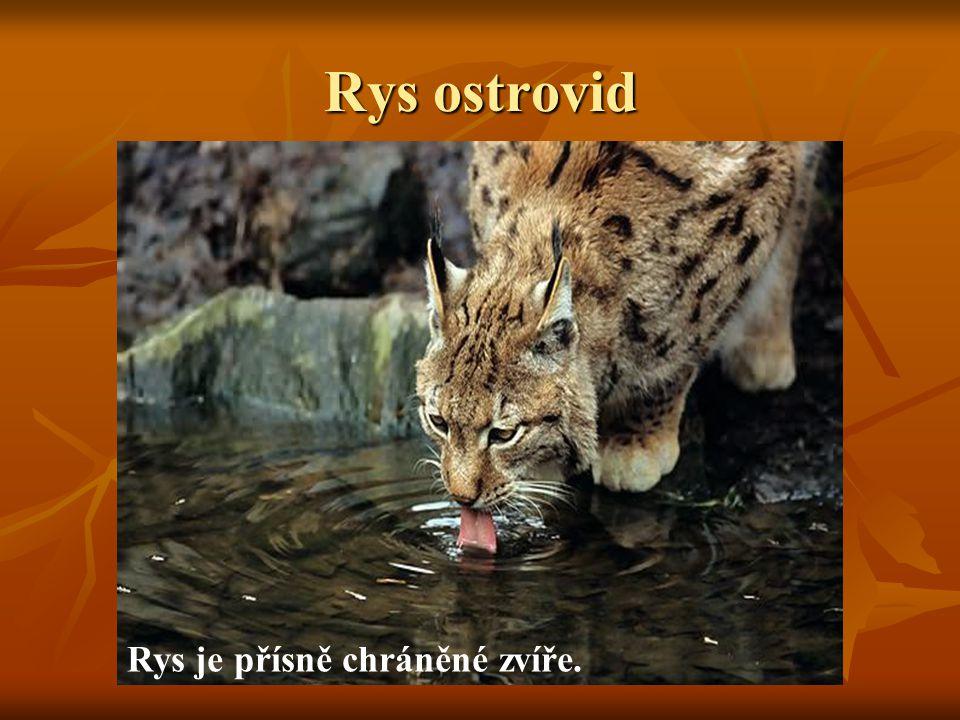 Rys ostrovid Rys je přísně chráněné zvíře.