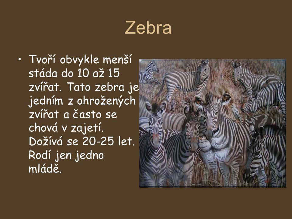 Zebra Tvoří obvykle menší stáda do 10 až 15 zvířat. Tato zebra je jedním z ohrožených zvířat a často se chová v zajetí. Dožívá se 20-25 let. Rodí jen