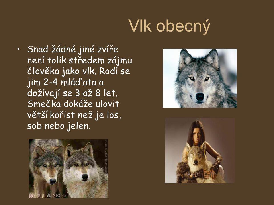 Vlk obecný Snad žádné jiné zvíře není tolik středem zájmu člověka jako vlk. Rodí se jim 2-4 mláďata a dožívají se 3 až 8 let. Smečka dokáže ulovit vět