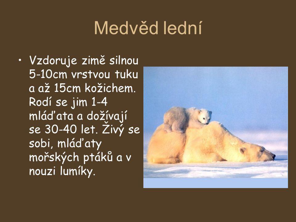 Medvěd lední Vzdoruje zimě silnou 5-10cm vrstvou tuku a až 15cm kožichem. Rodí se jim 1-4 mláďata a dožívají se 30-40 let. Živý se sobi, mláďaty mořsk