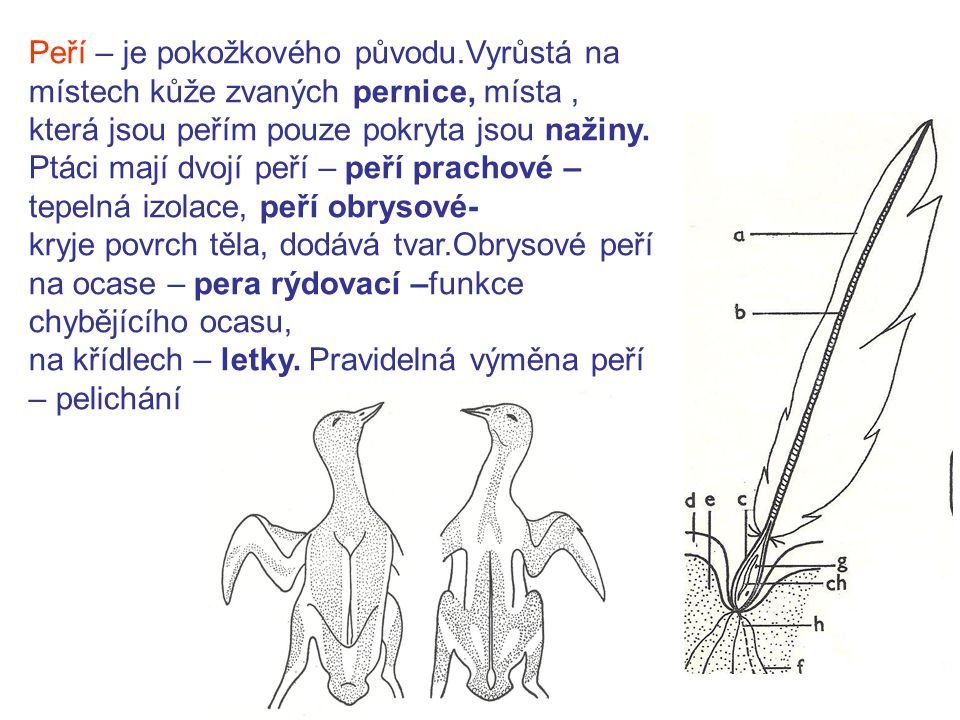Peří – je pokožkového původu.Vyrůstá na místech kůže zvaných pernice, místa, která jsou peřím pouze pokryta jsou nažiny.