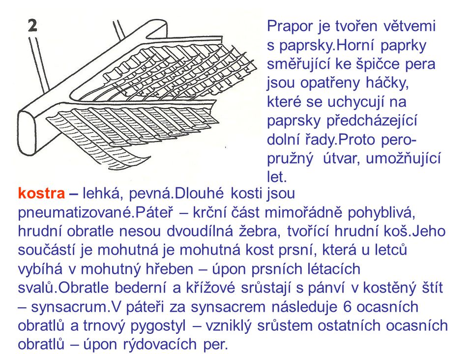 Prapor je tvořen větvemi s paprsky.Horní paprky směřující ke špičce pera jsou opatřeny háčky, které se uchycují na paprsky předcházející dolní řady.Proto pero- pružný útvar, umožňující let.