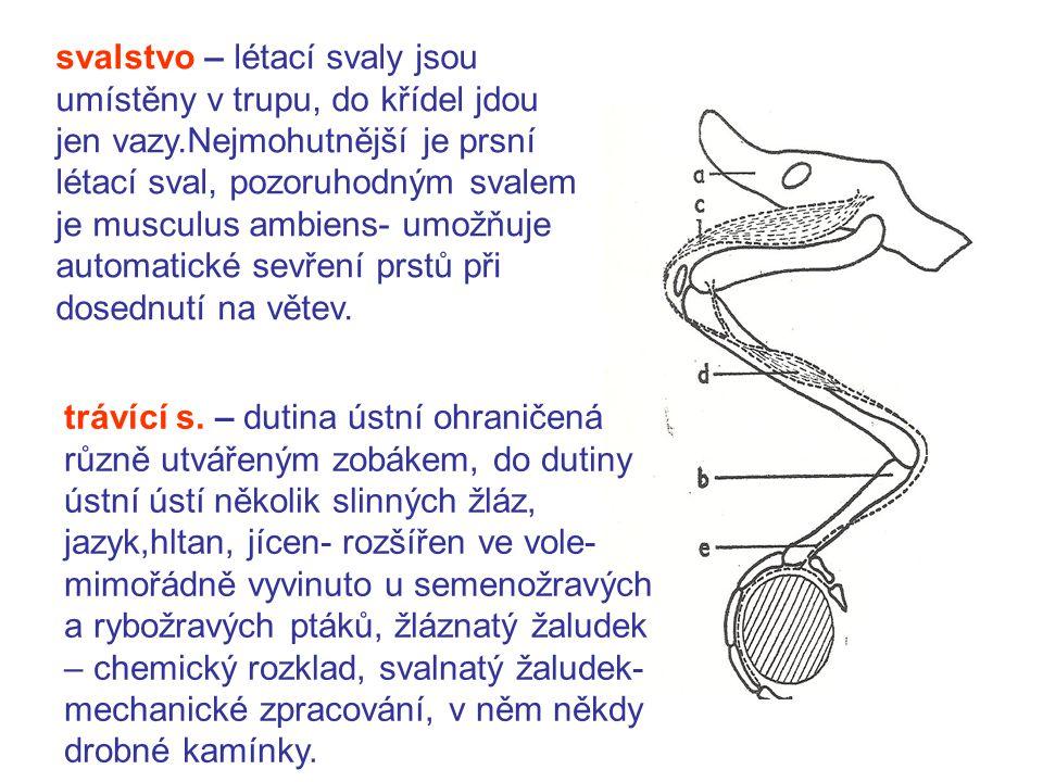 svalstvo – létací svaly jsou umístěny v trupu, do křídel jdou jen vazy.Nejmohutnější je prsní létací sval, pozoruhodným svalem je musculus ambiens- umožňuje automatické sevření prstů při dosednutí na větev.