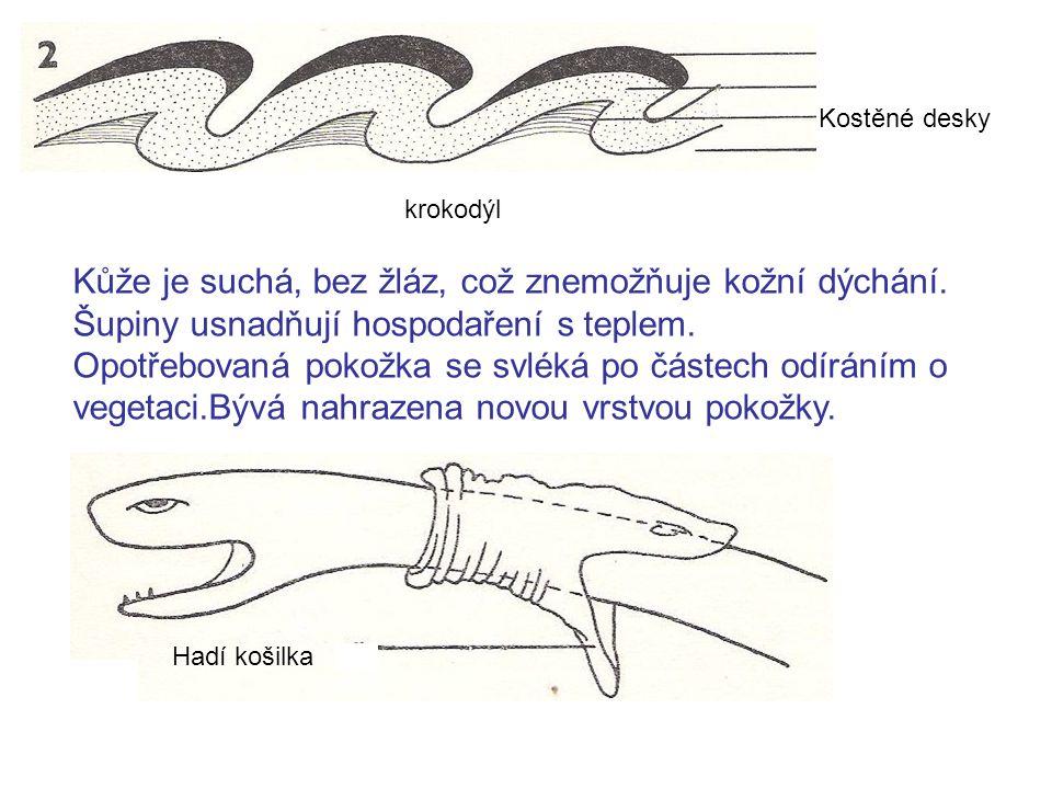 Kostěné desky krokodýl Kůže je suchá, bez žláz, což znemožňuje kožní dýchání.