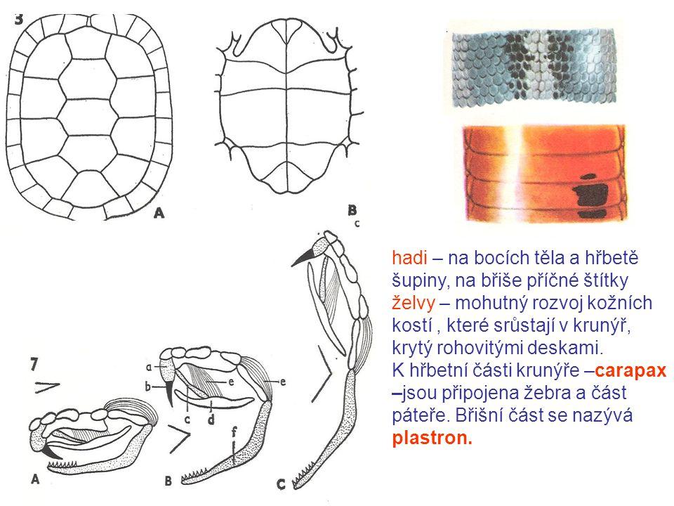 hadi – na bocích těla a hřbetě šupiny, na břiše příčné štítky želvy – mohutný rozvoj kožních kostí, které srůstají v krunýř, krytý rohovitými deskami.