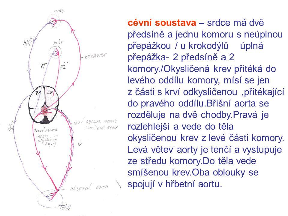 cévní soustava – srdce má dvě předsíně a jednu komoru s neúplnou přepážkou / u krokodýlů úplná přepážka- 2 předsíně a 2 komory./Okysličená krev přitéká do levého oddílu komory, mísí se jen z části s krví odkysličenou,přitékající do pravého oddílu.Břišní aorta se rozděluje na dvě chodby.Pravá je rozlehlejší a vede do těla okysličenou krev z levé části komory.