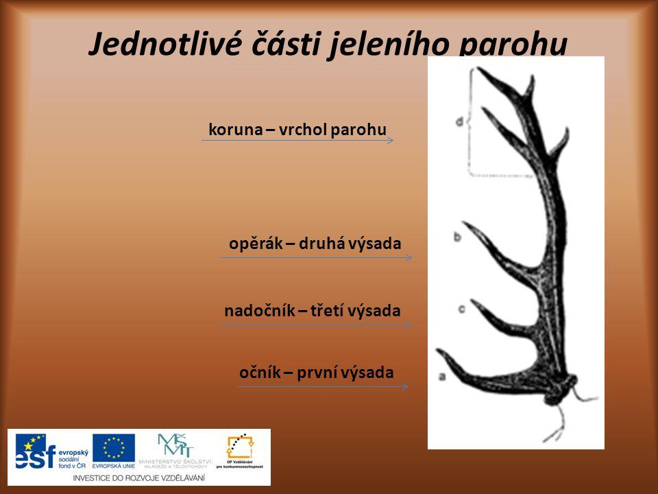 Jak rostou parohy ukázka vývoje parohu 1.Bez paroží V mírném pásmu jeleni shazují parohy každou zimu.
