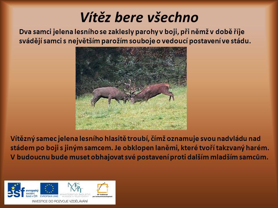 Samec, samice, mládě jelen laň laň s kolouškem Bílé skvrny na srsti koloucha jelena lesního pomáhají při ukrývaní ve vysoké trávě.
