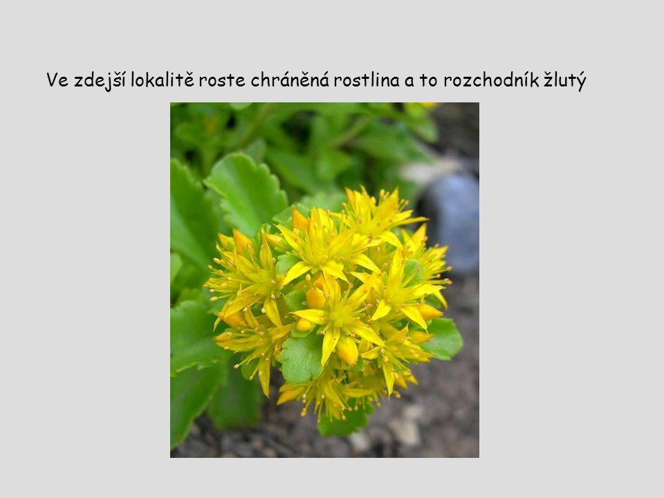 Ve zdejší lokalitě roste chráněná rostlina a to rozchodník žlutý