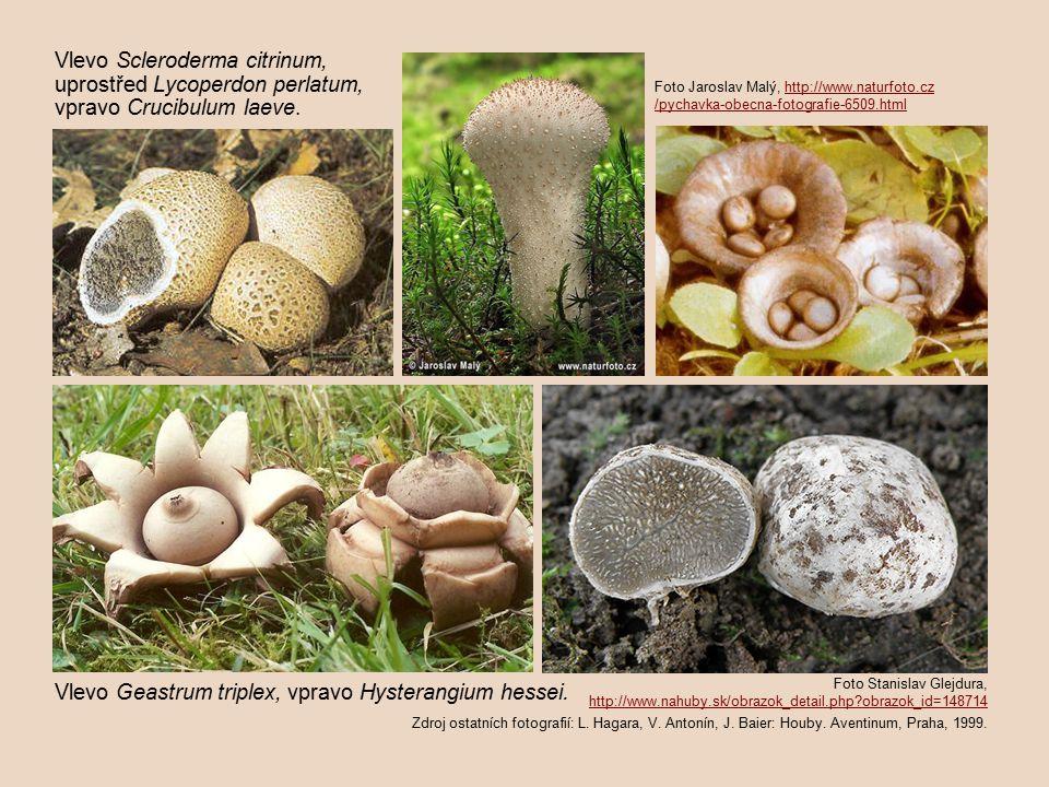 Foto Stanislav Glejdura, http://www.nahuby.sk/obrazok_detail.php?obrazok_id=148714 Zdroj ostatních fotografií: L.