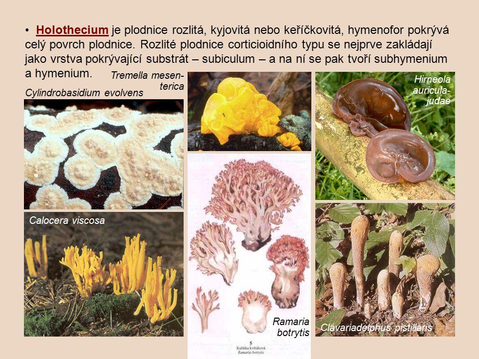 Holothecium je plodnice rozlitá, kyjovitá nebo keříčkovitá, hymenofor pokrývá celý povrch plodnice.