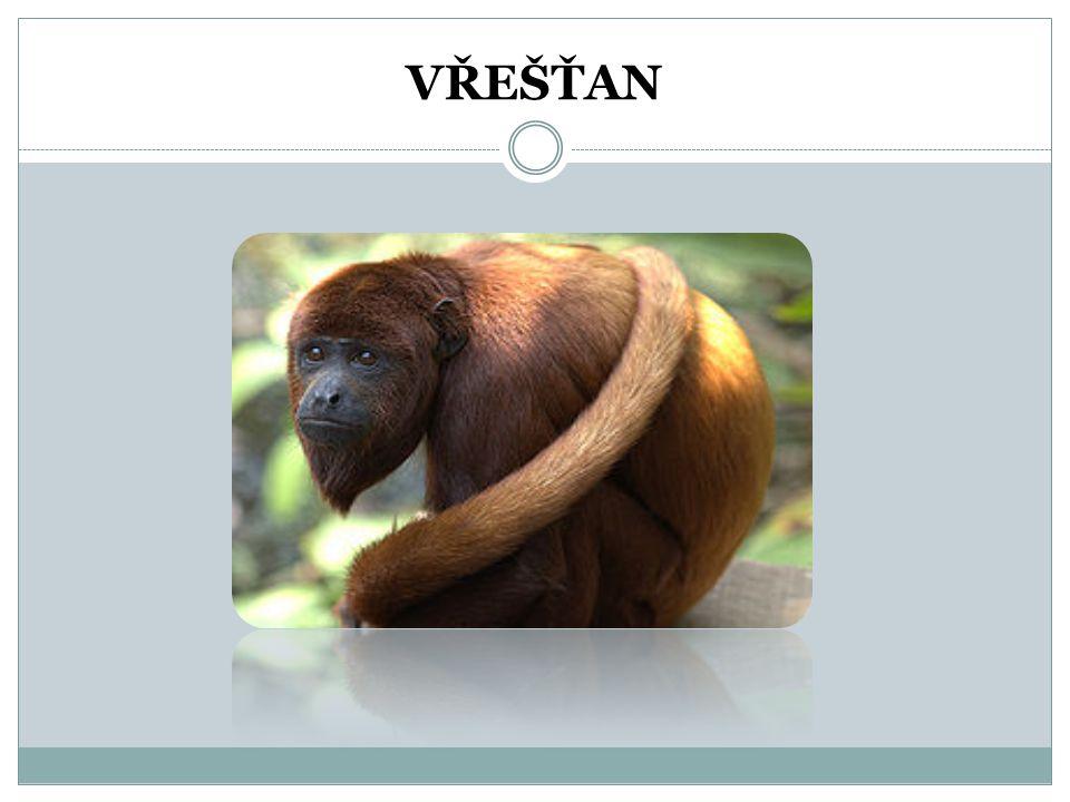 OPICE DĚLÍME NA: Ploskonosé – vřešťani Úzkonosé – kočkodani Lidoopi – šimpanz, orangutan a gorila
