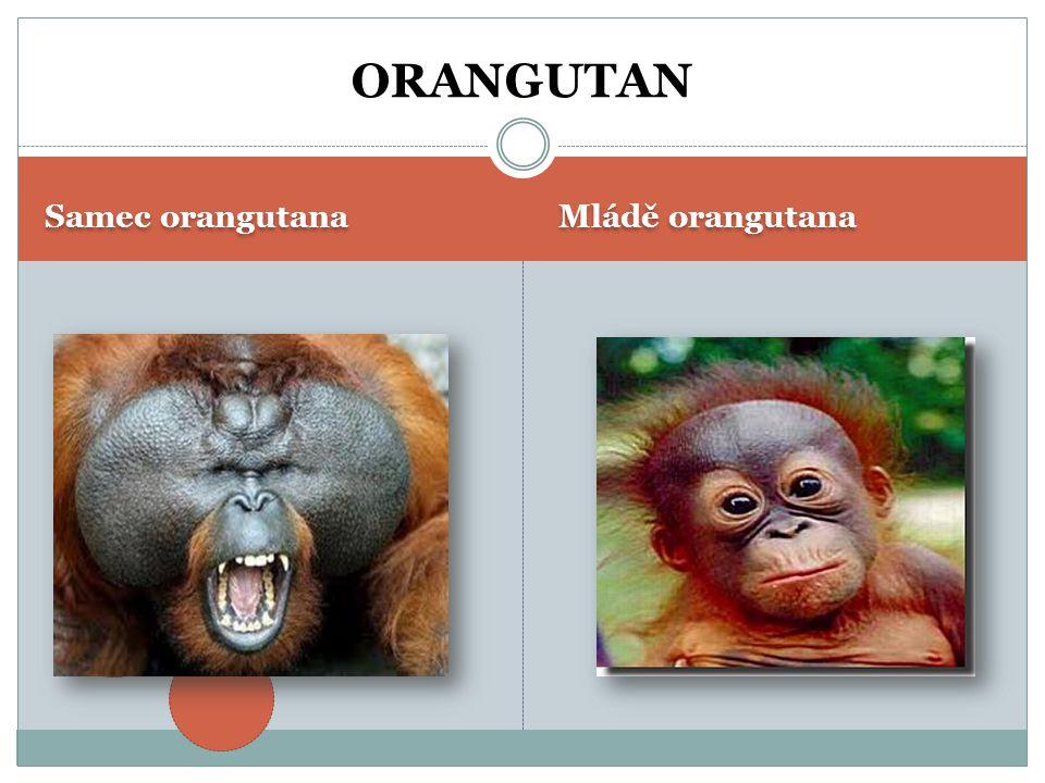 Dospělá gorila Mládě gorily GORILA