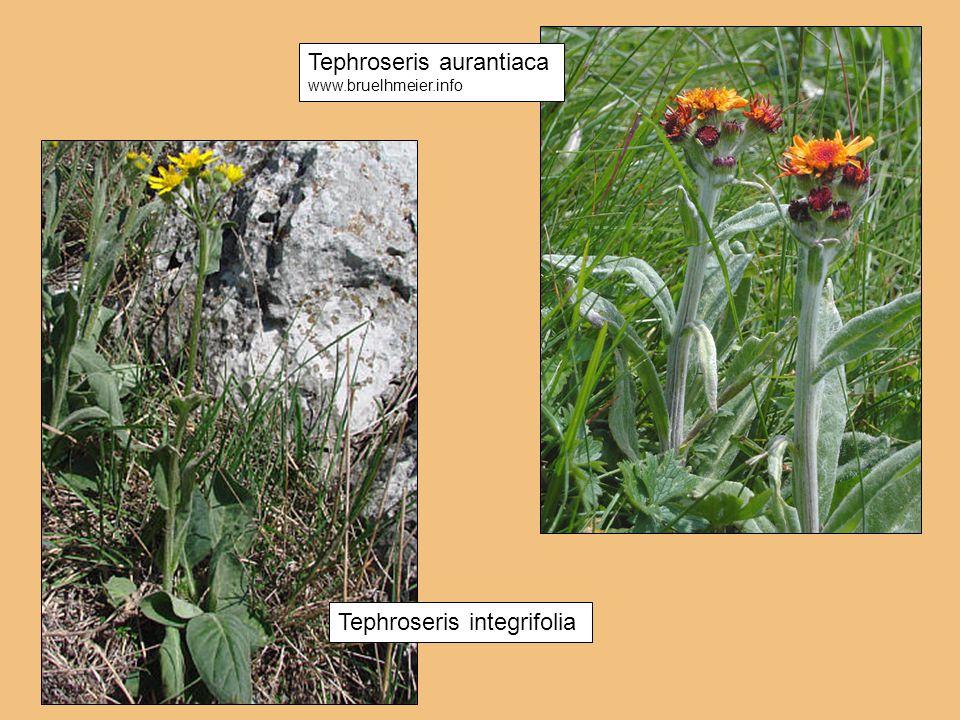 Tephroseris aurantiaca www.bruelhmeier.info Tephroseris integrifolia