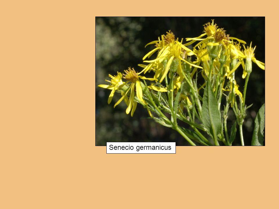 Senecio germanicus