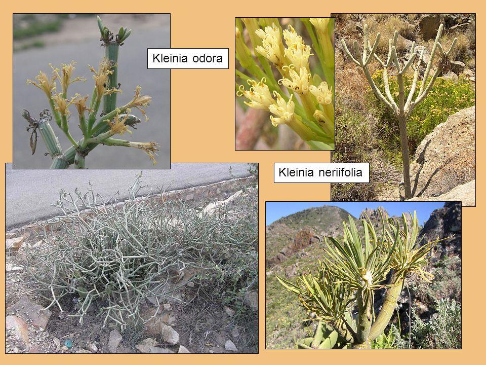 Kleinia odora Kleinia neriifolia