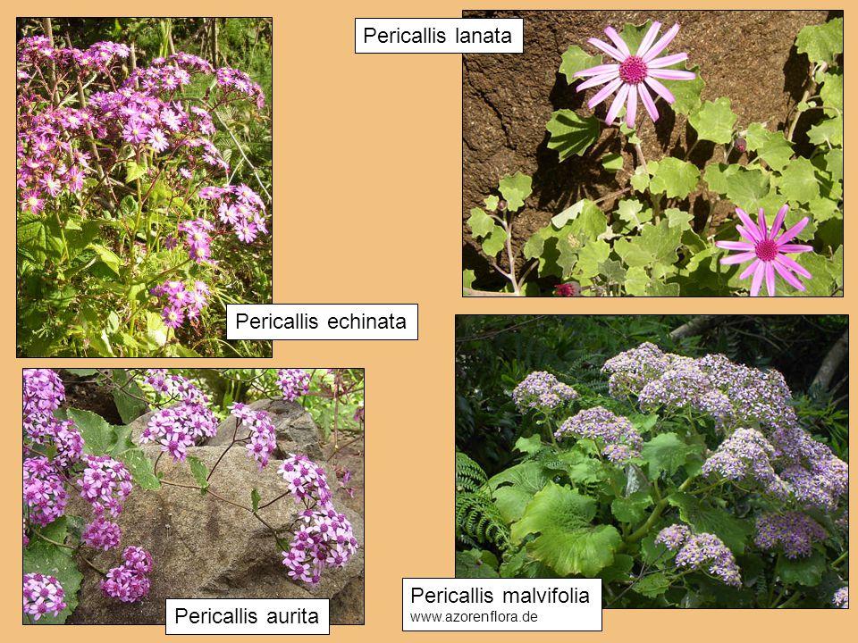 Pericallis lanata Pericallis echinata Pericallis malvifolia www.azorenflora.de Pericallis aurita