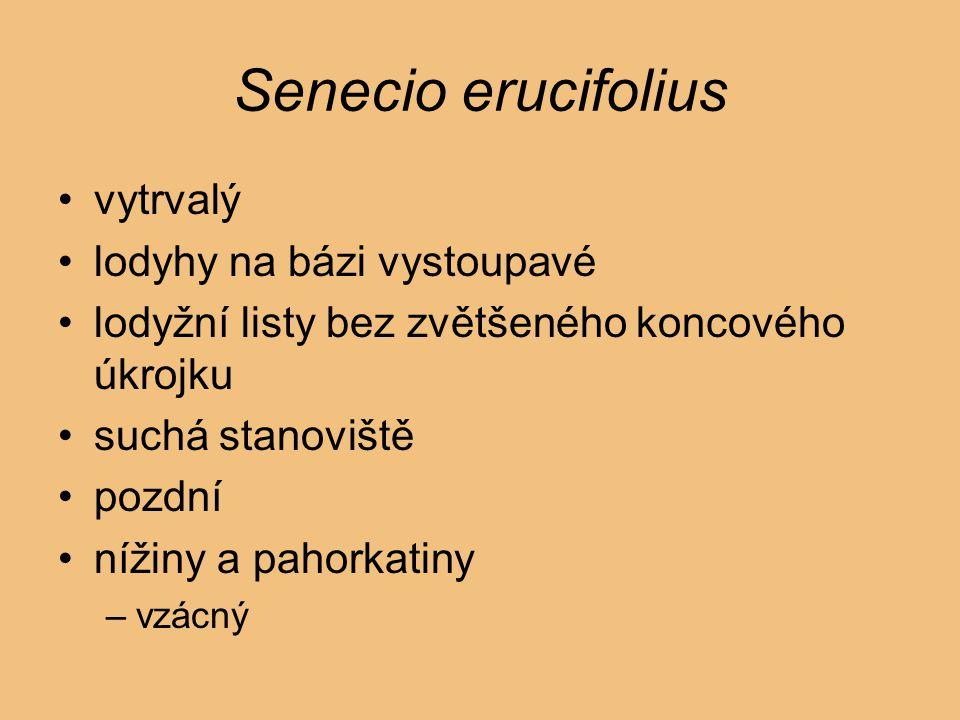 Senecio erucifolius vytrvalý lodyhy na bázi vystoupavé lodyžní listy bez zvětšeného koncového úkrojku suchá stanoviště pozdní nížiny a pahorkatiny –vz