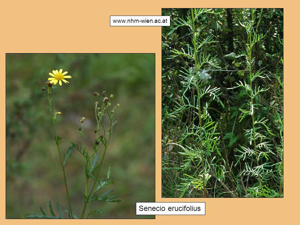 Senecio erucifolius chauer Berge www.nhm-wien.ac.at