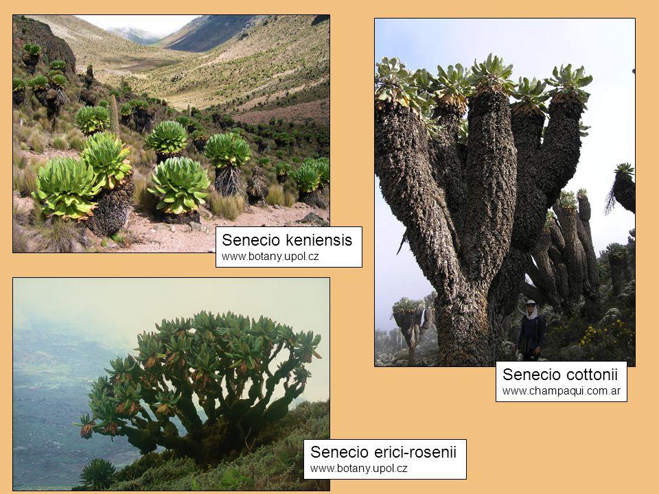 Senecio cottonii www.champaqui.com.ar Senecio keniensis www.botany.upol.cz Senecio erici-rosenii www.botany.upol.cz