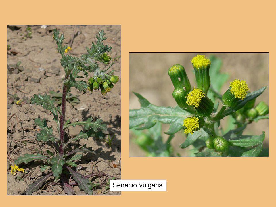 Senecio vulgaris