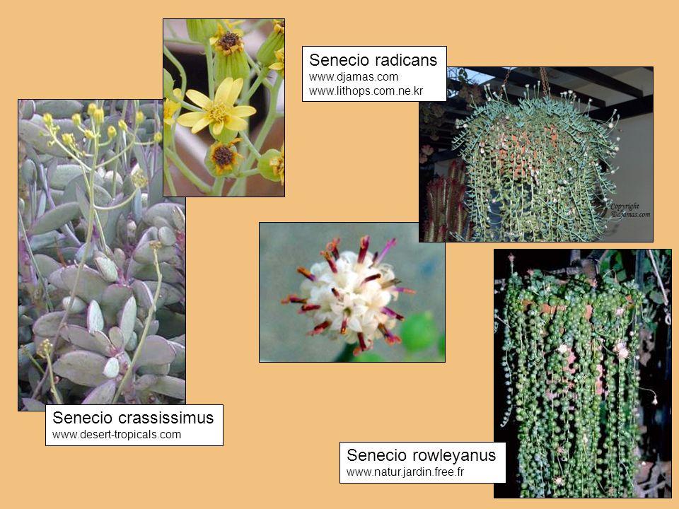 Senecio rowleyanus www.natur.jardin.free.fr Senecio crassissimus www.desert-tropicals.com Senecio radicans www.djamas.com www.lithops.com.ne.kr