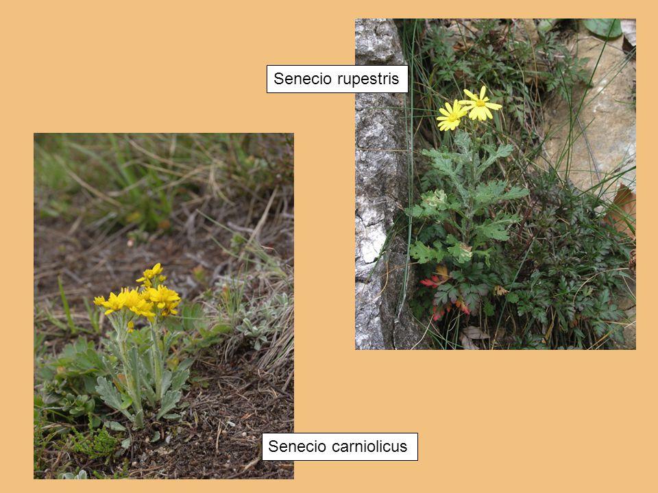 Senecio carniolicus Senecio rupestris