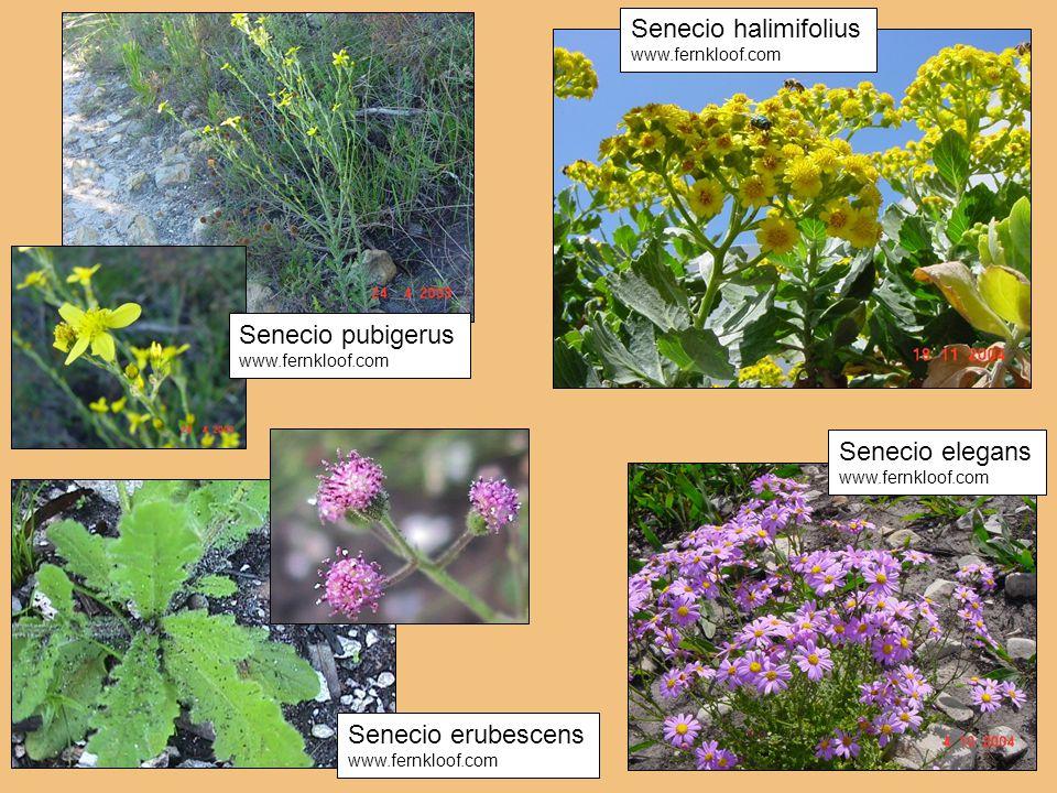 Senecio erubescens www.fernkloof.com Senecio halimifolius www.fernkloof.com Senecio elegans www.fernkloof.com Senecio pubigerus www.fernkloof.com