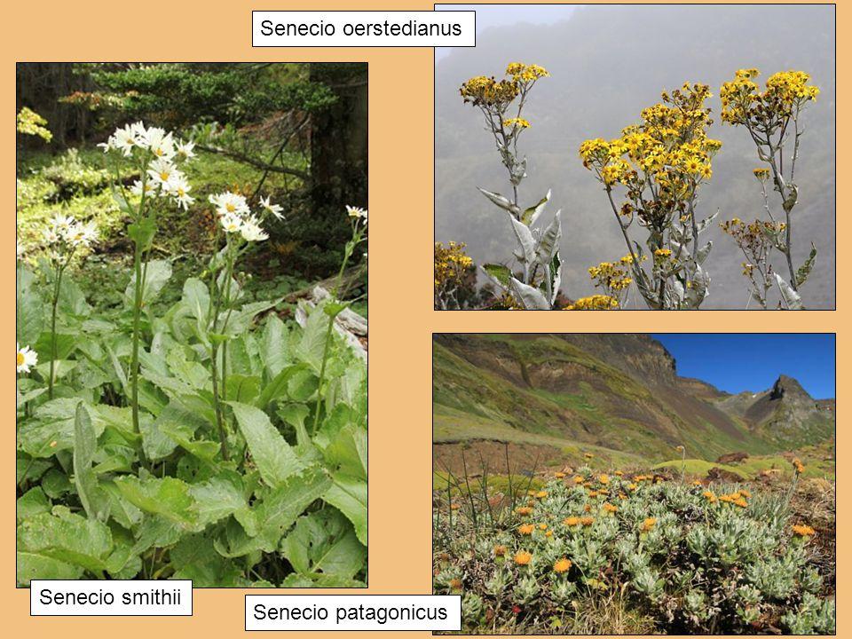 Senecio patagonicus Senecio smithii Senecio oerstedianus