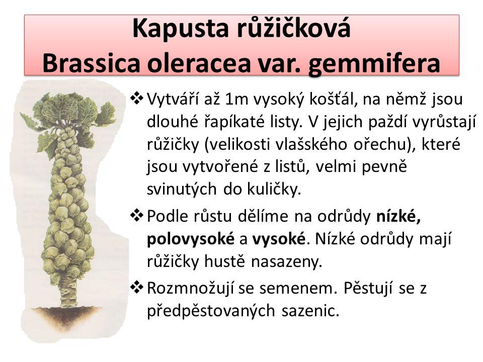 Kapusta růžičková Brassica oleracea var. gemmifera  Vytváří až 1m vysoký košťál, na němž jsou dlouhé řapíkaté listy. V jejich paždí vyrůstají růžičky