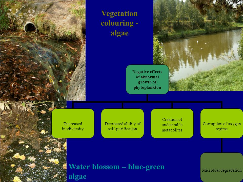 Vegetation colouring - algae Water blossom – blue-green algae