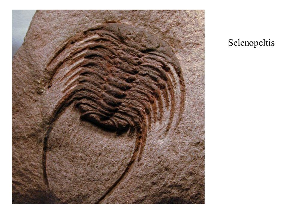 Selenopeltis