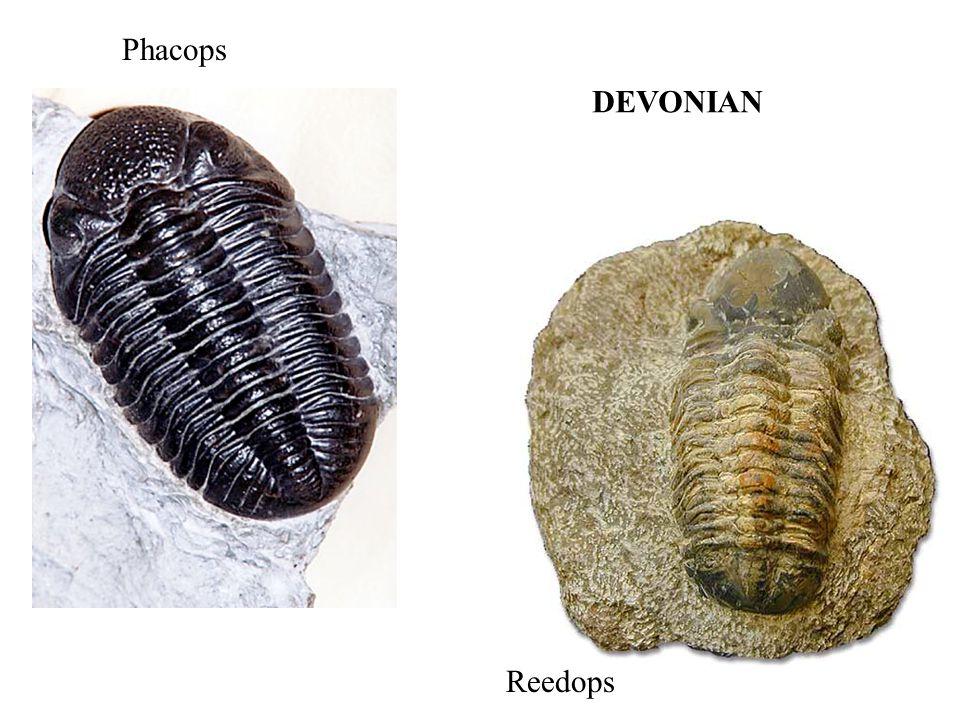 Phacops Reedops DEVONIAN