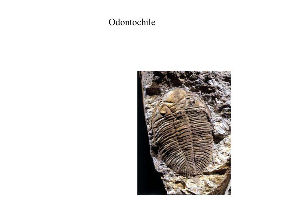 Odontochile