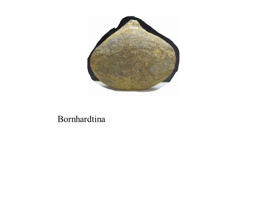 Bornhardtina