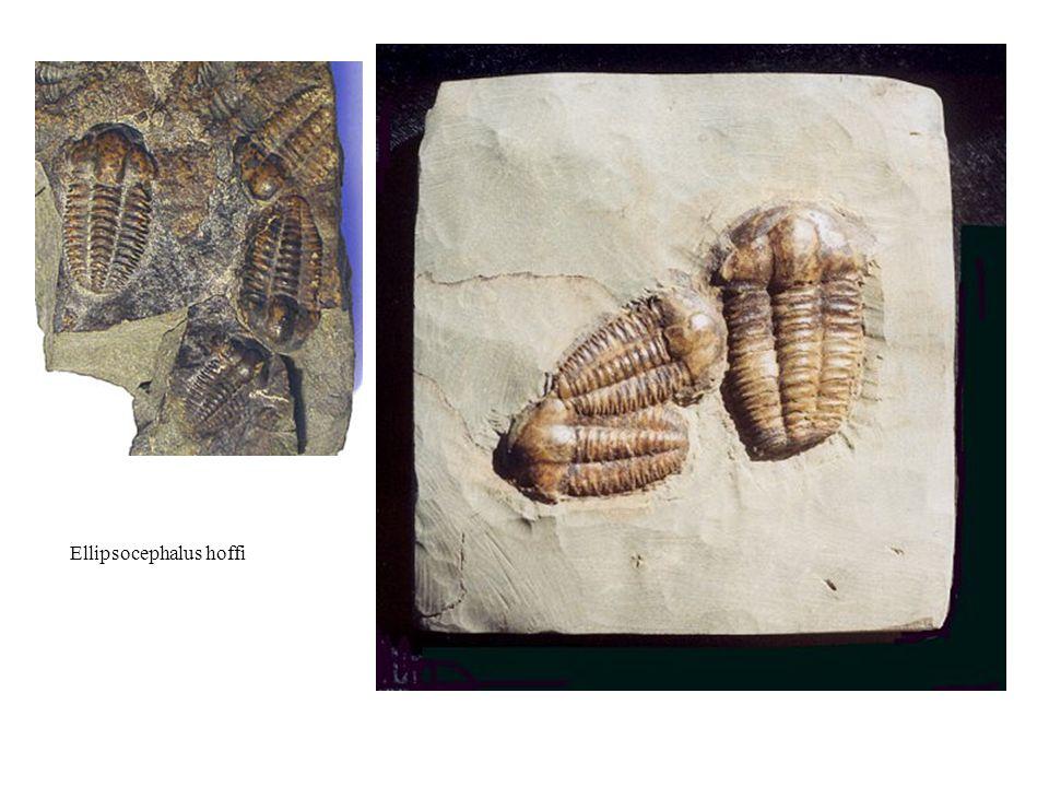 Sedimentární pokryv brunovistulika Spodní kambrium – mělkovodní mořské sedimenty, vrty jv od Brna Silur – zasypaná štola u Stínavy, graptolitové a vápnité břidlice.