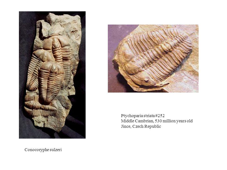 Ptychoparia striata #252 Middle Cambrian, 530 million years old Jince, Czech Republic Conocoryphe sulzeri