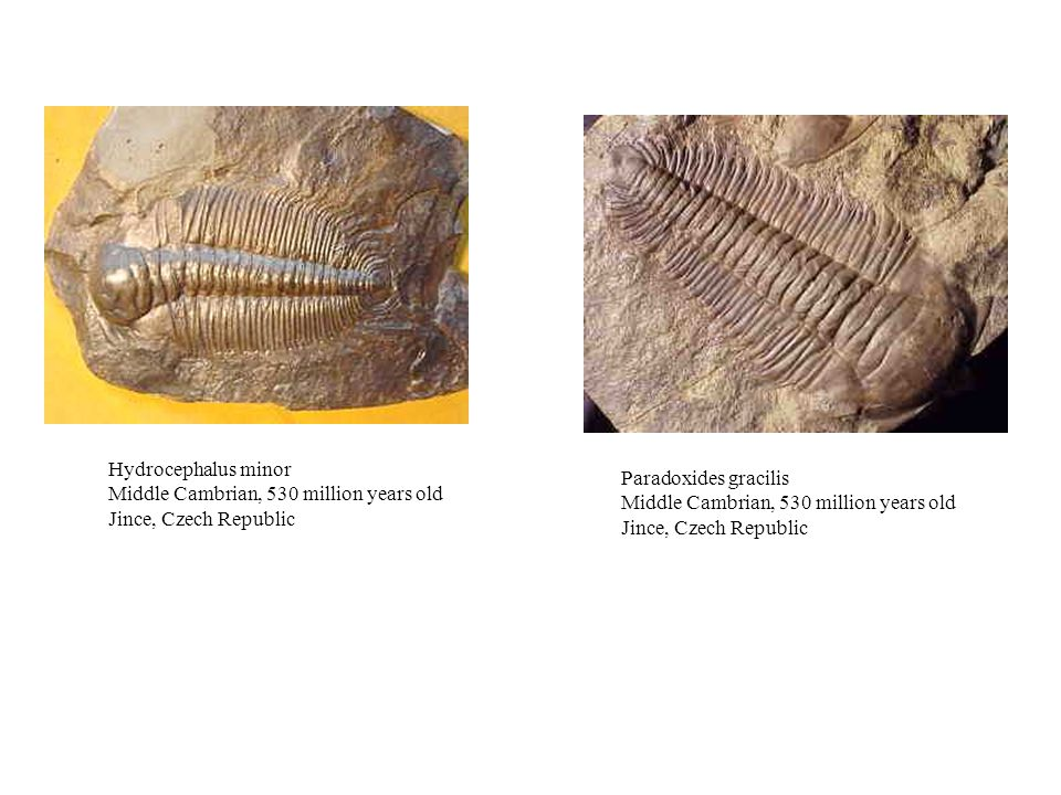 Hydrocephalus minor Middle Cambrian, 530 million years old Jince, Czech Republic Paradoxides gracilis Middle Cambrian, 530 million years old Jince, Czech Republic