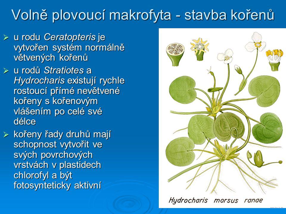 Volně plovoucí makrofyta - stavba kořenů  u rodu Ceratopteris je vytvořen systém normálně větvených kořenů  u rodů Stratiotes a Hydrocharis existují rychle rostoucí přímé nevětvené kořeny s kořenovým vlášením po celé své délce  kořeny řady druhů mají schopnost vytvořit ve svých povrchových vrstvách v plastidech chlorofyl a být fotosynteticky aktivní