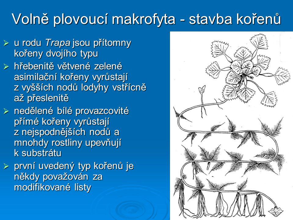 Volně plovoucí makrofyta - stavba kořenů  u rodu Trapa jsou přítomny kořeny dvojího typu  hřebenitě větvené zelené asimilační kořeny vyrůstají z vyšších nodů lodyhy vstřícně až přeslenitě  nedělené bílé provazcovité přímé kořeny vyrůstají z nejspodnějších nodů a mnohdy rostliny upevňují k substrátu  první uvedený typ kořenů je někdy považován za modifikované listy