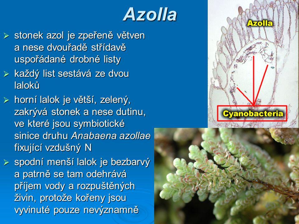 Azolla  stonek azol je zpeřeně větven a nese dvouřadě střídavě uspořádané drobné listy  každý list sestává ze dvou laloků  horní lalok je větší, zelený, zakrývá stonek a nese dutinu, ve které jsou symbiotické sinice druhu Anabaena azollae fixující vzdušný N  spodní menší lalok je bezbarvý a patrně se tam odehrává příjem vody a rozpuštěných živin, protože kořeny jsou vyvinuté pouze nevýznamně