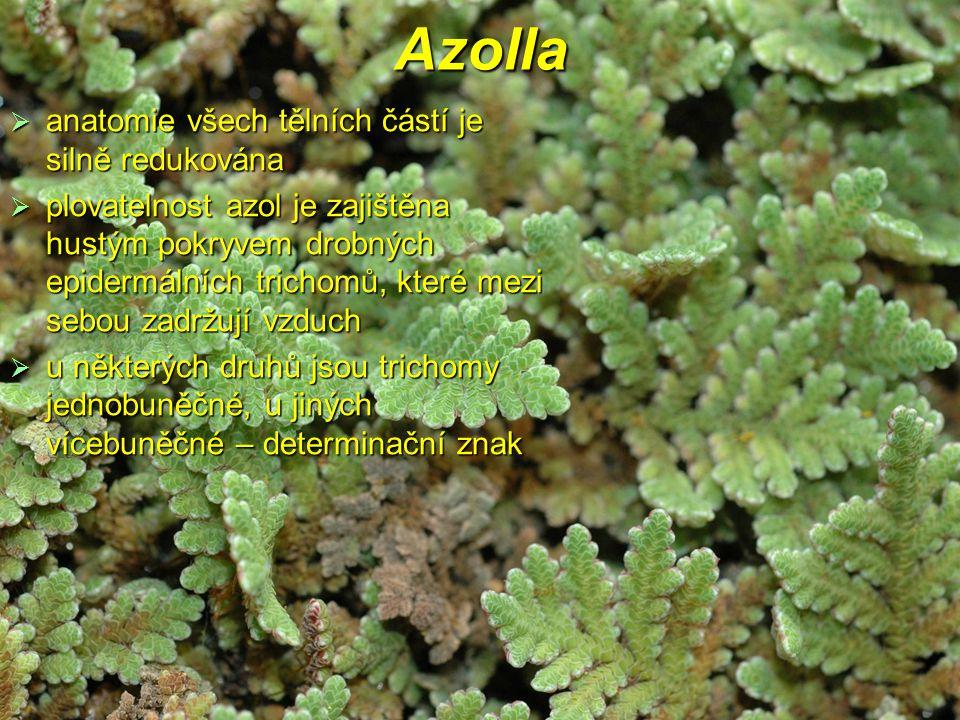 Azolla  anatomie všech tělních částí je silně redukována  plovatelnost azol je zajištěna hustým pokryvem drobných epidermálních trichomů, které mezi sebou zadržují vzduch  u některých druhů jsou trichomy jednobuněčné, u jiných vícebuněčné – determinační znak
