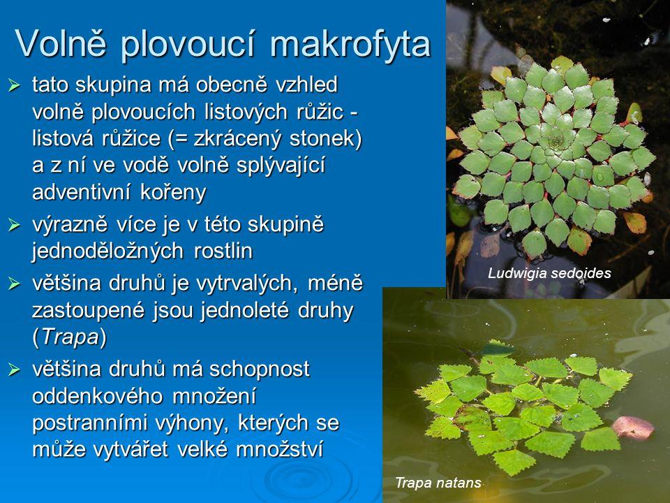 Volně plovoucí makrofyta  tato skupina má obecně vzhled volně plovoucích listových růžic - listová růžice (= zkrácený stonek) a z ní ve vodě volně splývající adventivní kořeny  výrazně více je v této skupině jednoděložných rostlin  většina druhů je vytrvalých, méně zastoupené jsou jednoleté druhy (Trapa)  většina druhů má schopnost oddenkového množení postranními výhony, kterých se může vytvářet velké množství Ludwigia sedoides Trapa natans