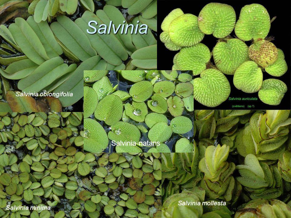 Salvinia Salvinia oblongifolia Salvinia minima Salvinia mollesta Salvinia natans