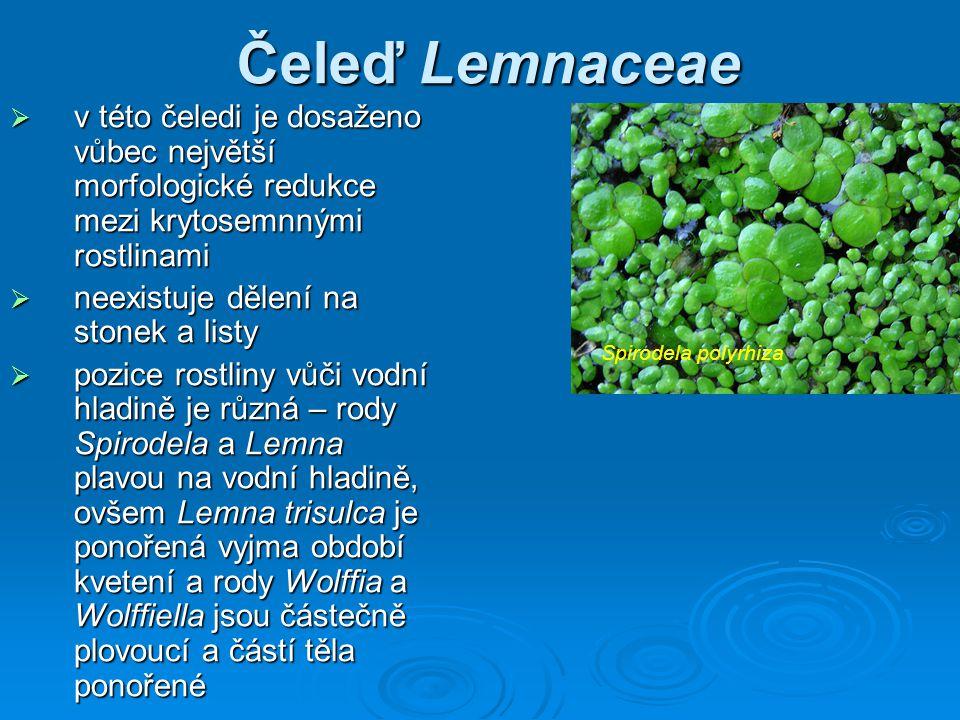 Čeleď Lemnaceae  v této čeledi je dosaženo vůbec největší morfologické redukce mezi krytosemnnými rostlinami  neexistuje dělení na stonek a listy  pozice rostliny vůči vodní hladině je různá – rody Spirodela a Lemna plavou na vodní hladině, ovšem Lemna trisulca je ponořená vyjma období kvetení a rody Wolffia a Wolffiella jsou částečně plovoucí a částí těla ponořené Spirodela polyrhiza