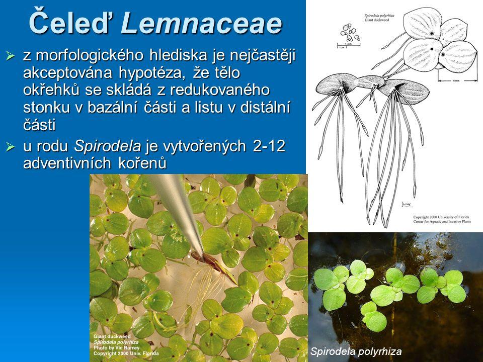 Čeleď Lemnaceae  z morfologického hlediska je nejčastěji akceptována hypotéza, že tělo okřehků se skládá z redukovaného stonku v bazální části a listu v distální části  u rodu Spirodela je vytvořených 2-12 adventivních kořenů Spirodela polyrhiza