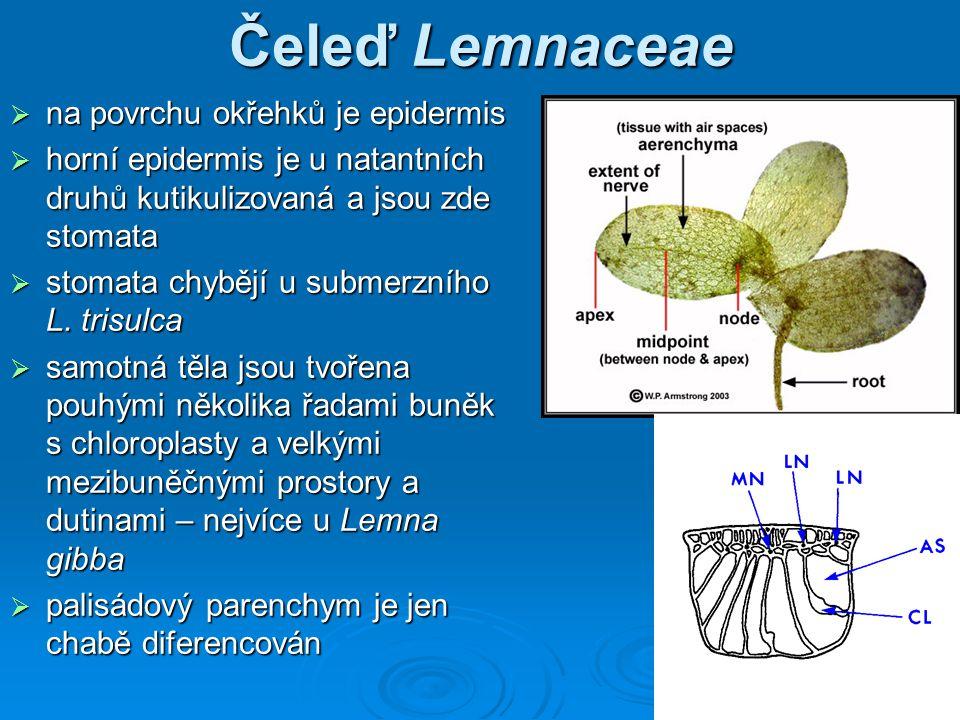 Čeleď Lemnaceae  na povrchu okřehků je epidermis  horní epidermis je u natantních druhů kutikulizovaná a jsou zde stomata  stomata chybějí u submerzního L.